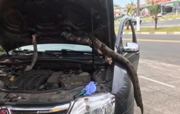 Motorista roda 650 quilômetros com jiboia em motor de carro: 'Quase tive um treco'