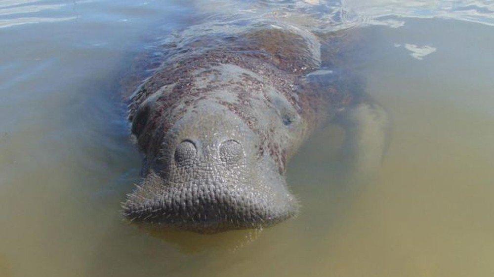 Astro, o peixe-boi que sobreviveu a 13 atropelamentos e agora está sob ameaça do petróleo no Nordeste