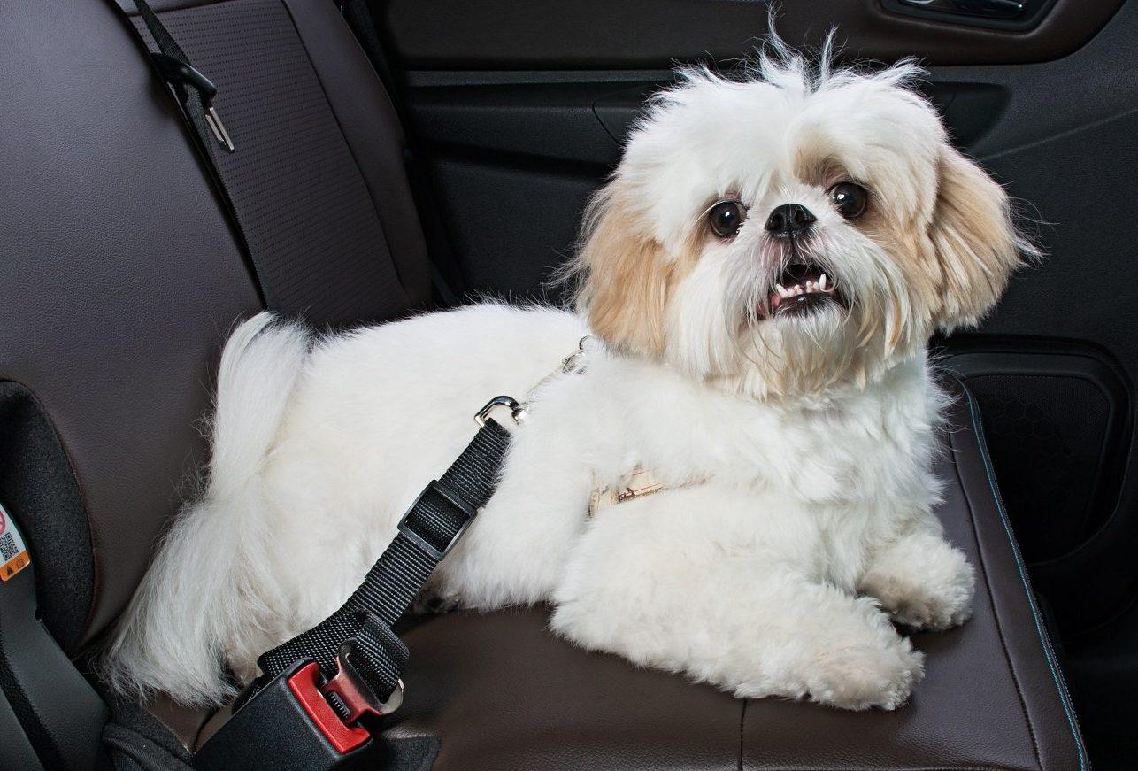 Pet no carro: pode ou não pode?